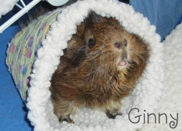 Ginny Pig Too