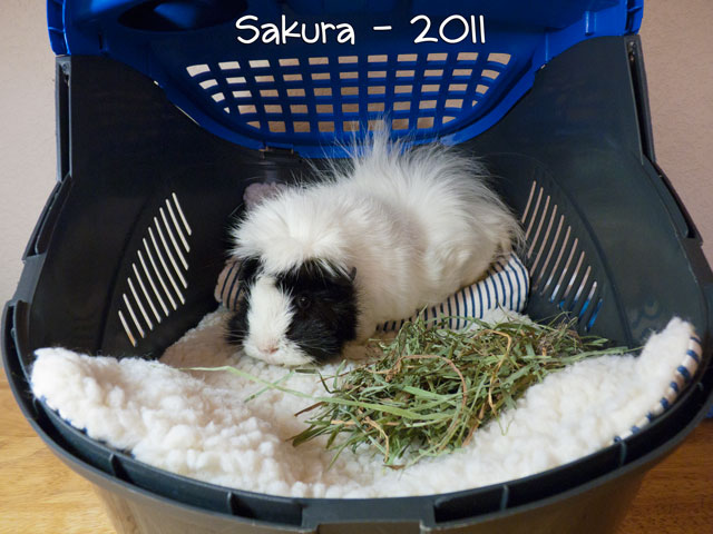 Sakura lounges on a custom Mat Bed in her travel carrier.