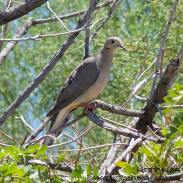 Mourning Dove perches in a tree, by LetSleepingPigsLie