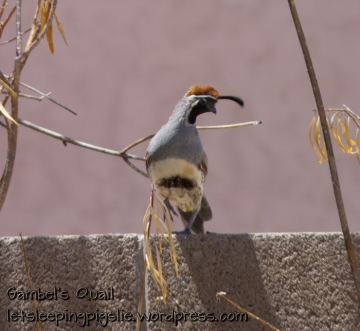 Male Gambels' Quail briefly poses for the camera, by LetSleepingPigsLie