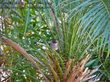 A little male hummingbird sits and sings happily in a dwarf palm tree.