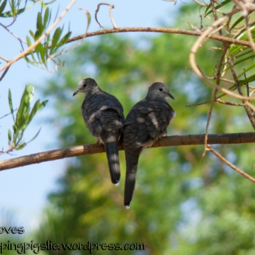 Pair of Inca Doves on a branch, by LetSleepingPigsLie