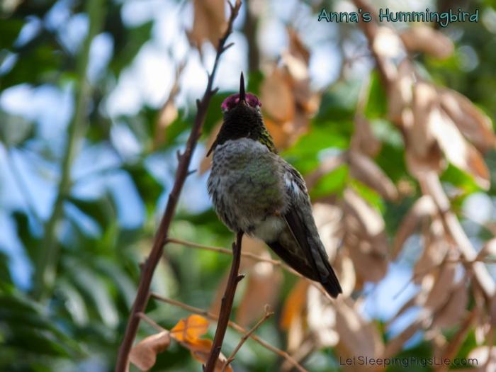 Anna's Hummingbird on December 4, 2014, by LetSleepingPigsLie