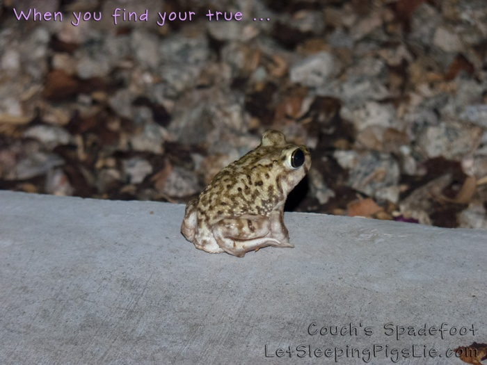 Couch's Spadefoot toad, by Let Sleeping Pigs Lie